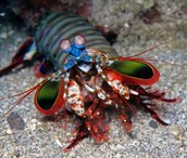 mantis shrimp/ very sneaky and fast