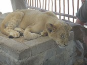 Sleeping Lions!