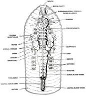 Earthworm interior