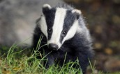 Taxidea Taxus (Badger)