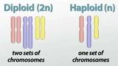 Haploid & Diploid