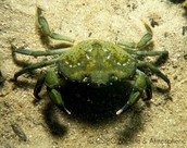 Eropean green crab