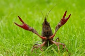 Crayfish (Astacoidea)