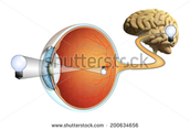 Vision processing to brain processing
