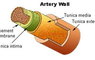 What Are the Arteries?