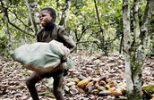 A child forced to carry pounds of cocoa beans for hours straight