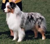 Merle Australian Shepherd