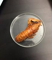 Preserved Crayfish