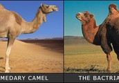 Dromedary and Bactrian Camel
