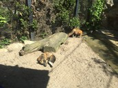 Foxes relaxing