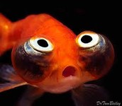 THE GOLDFISH ALSO KNOWN AS CARASSIUS AURATUS
