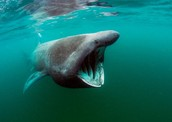 The Rare Basking Shark also live in the Pamlico Sound