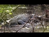there are alot of aligators in the chattahoochee river