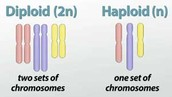 Gamates/ Haploid and Diploid/ Mendel and Watson and Crick/ Mutations