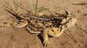 Texas Hormed Lizard