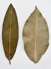 The Bay Leaf Orgin