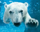 A Polar Bear under water