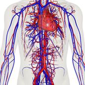 Cardiovasc-ular system
