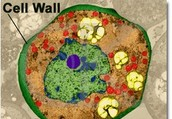 Why we need from a Cell Wall
