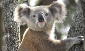 Fauna (Koala)