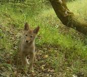 One Tam Wildlife Camera Project