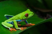 what are red eyed tree frogs