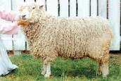 Colonial Sheep