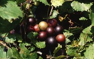 The Muscadine