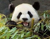 This panda is eating bamboo, there are a lot of species's of bamboo, but because of deforestation it is still hard to find. Pandas depend on bamboo to live.