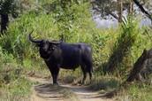 A Water Buffalo!!!!