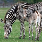 A ZEBRA AND ITS BEAUTIFUL OFFSPRING