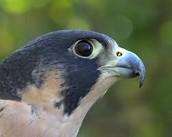 Peregrine Falcon (Land)