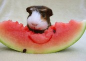 This guinea pig is eating a watermelon.