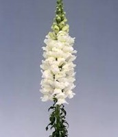 Line Flower (Snapdragon)