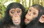 Brother and sister chimpanzees