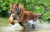 The Amur Tiger Also known as the Siberian Tiger