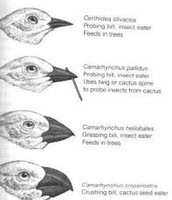 Finches and their beaks