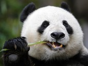 What does the panda eat?