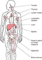 Major organs of the Immune system