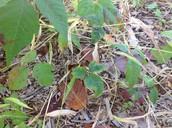 Poisonous evil plant