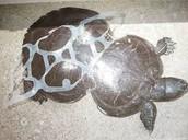 Human Impacts for Loggerhead Turtles