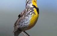 State Bird-