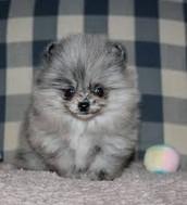 Pomeranians :