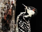 Red-Cockaded Wood Pecker(Land)