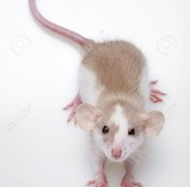 Christopher's Pet Rat, Toby