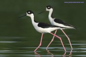 Black- Winged Stilt