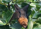 Rodriguez fruit bat in habitat