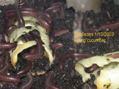 characteristic of millipedes