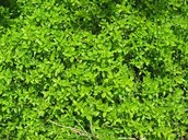 Thyme In The Wild