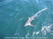 Migration of Tropical Sharks